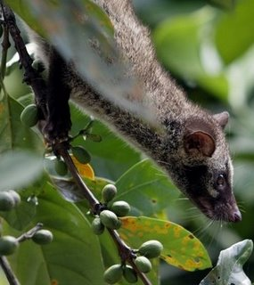 Asian Palm Civet  (Wikimedia Commons)