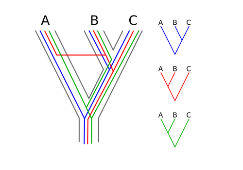 "The histories of individual gene regions don't always match the histories of species. While many sections of genetic code (blue line) may reflect true historical relationships between species A, B, and C (gray outlined phylogeny), genes that are transferred between species via hybridization (red line) or that retain unresolved polymorphism (green line) can conflict with the ""species tree."""