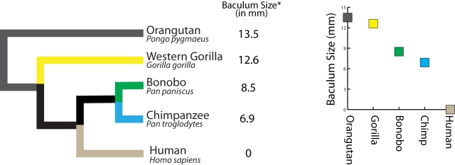 Figure 1: (A) Real phylogeny and real bacular data on great apes. (B) Perhaps slightly misleading representation of the relationship between great apes and bacula