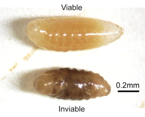 A healthy viable Nasonia holobiont (top) and an unhealthy, inviable Nasonia holobiont (bottom). From Brucker and Bordenstein (2013), figure 1B.