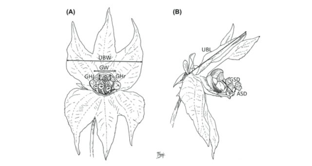 Flowers of Dalechampia scan dens, with key measurements indicated. Figure 1 of Perez-Barrales et al. (2013).