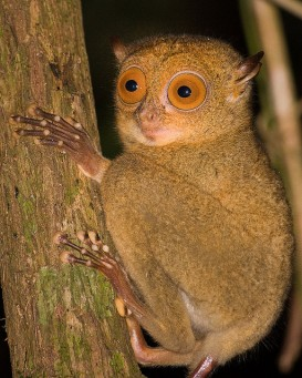 A tarsier (Flickr: )