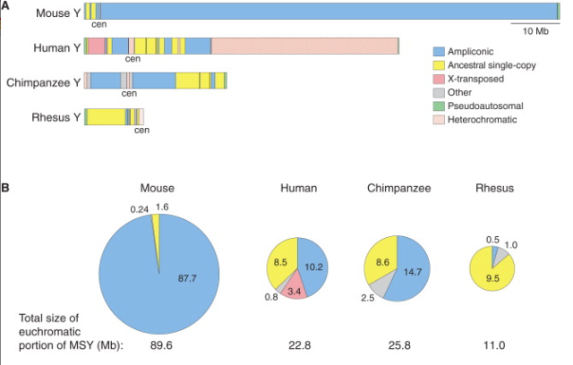 Figure from Sho et al. 2014, showing the percentage of recently acquired, repetitive sequence (i.e. ampliconic in blue) on the mouse Y chromosome compared to other mammalian Ys, and how little ancestral sequence (yellow) is left on the mouse Y.