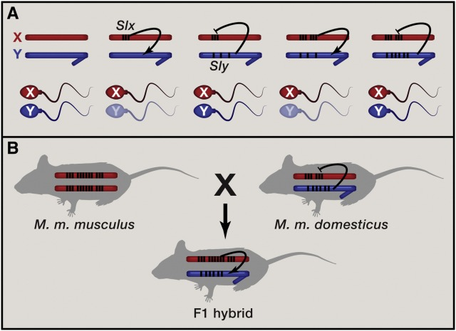 Figure from Bachtrog 2014 illustrating how meiotic drive can lead to co-amplification on the mouse sex chromosomes.