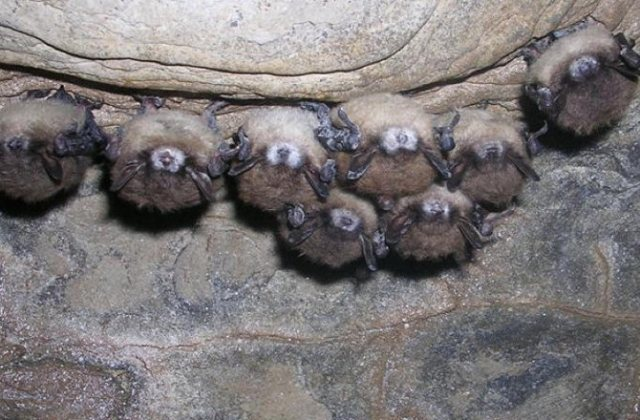 bats-white-nose-150105-670