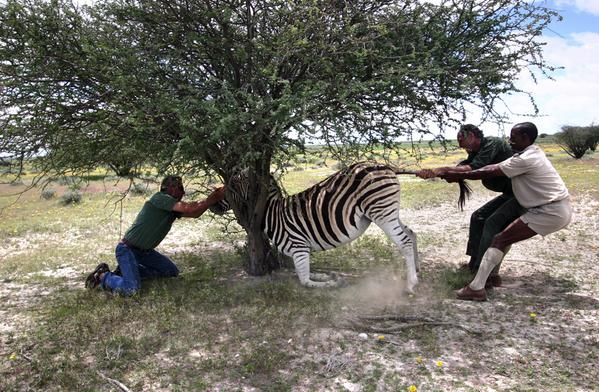 Carrie Cizauskas: When your drugged zebra finds the ONE tree on the Namibian plains, which also has a neck-height fork #fieldworkfail