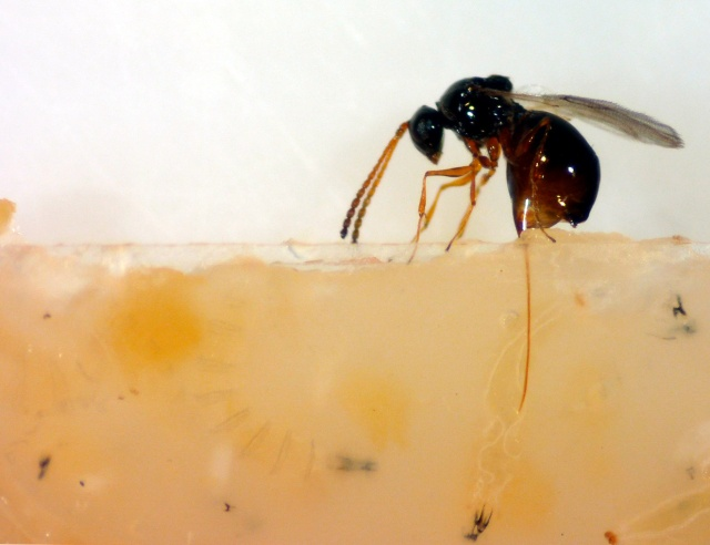 A parasitic wasp (Leptopilina heterotoma) probes for fruit fly larvae with her ovipositor.