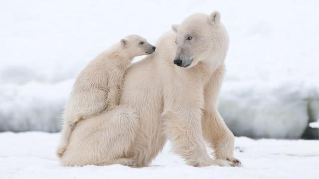 polar-bear-cub-on-mom-adapt-945-1