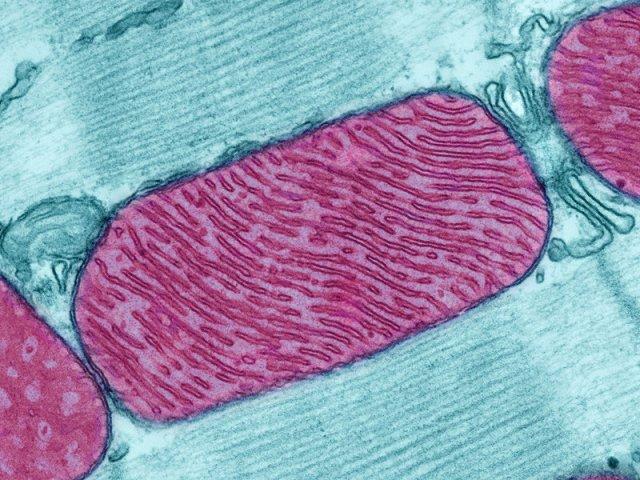 mitochondria-2c2d9757aca29c6b18a74aa5184f8d014756d72f-s800-c85