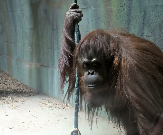 "It was recently ruled that Sandra the orangutan (currently housed in the Buenos Aires Zoo) has rights as a ""non-human person"""