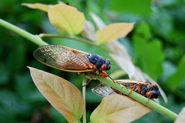 Cicadas (Flickr: Leslie)