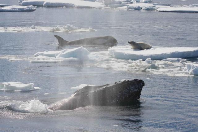 01humpbackwhales.adapt.1190.1