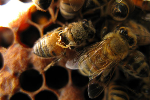 Honey bees with DWV.
