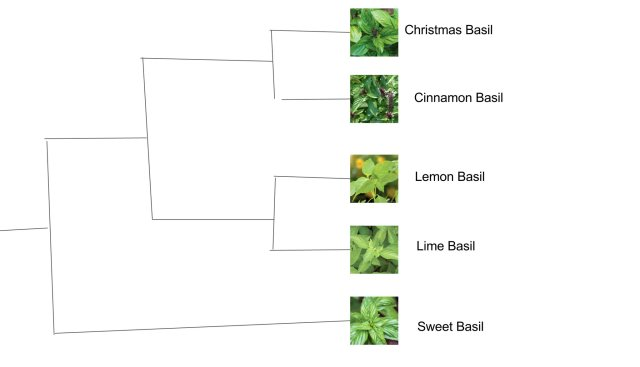 The Basil-Lineage problem: which is the #mostprimitivebasil