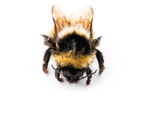 hunting-bombus-polaris-arctic-bumblebee-1475775610556-master495