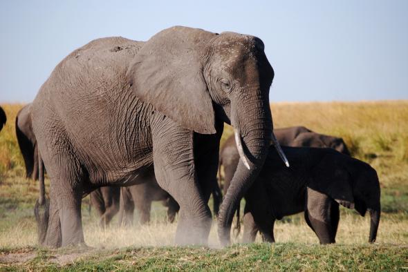 01_elephants_botswana-adapt-590-1