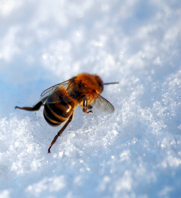 frozen-bee.jpg