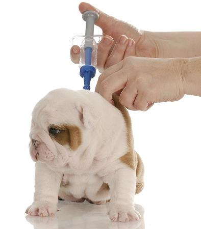 VaccinateBulldog.jpg