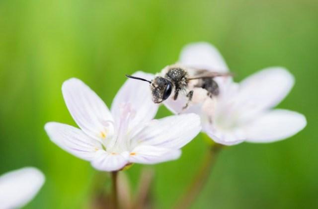Andrena-erigeniae-on-Claytonia-virginica-by-MaLisa-Spring.jpg