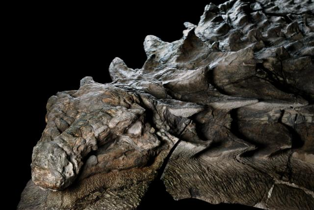 nodosaur-fossil-canadian-mine-face.adapt.1900.1.jpg
