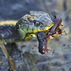 snakenewt.jpg