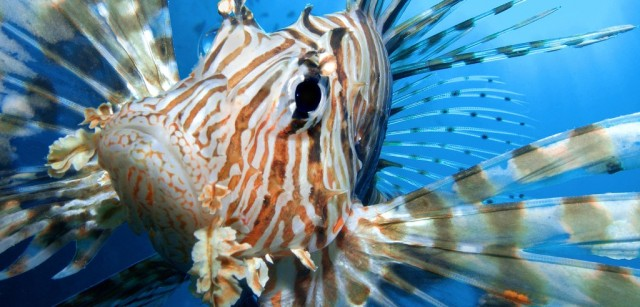 header-lionfish-hybrid.jpg