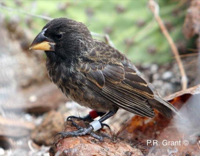 big-bird-finch-galapagos-new-species.jpg