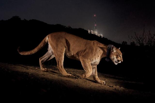 01-urban-animal-hollywood-cougar.adapt.1190.1.jpg