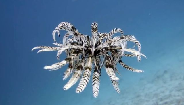 feather-star.jpg.653x0_q80_crop-smart.jpg