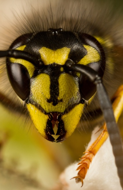 Common_wasp_or_Yellowjacket-_Vespula_vulgaris_-